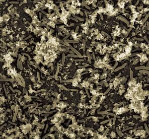 """Biofilm de Geobacter sulfureducens, bacteria capaz de """"comer"""" uranio, con cristales de uranio precipitados."""