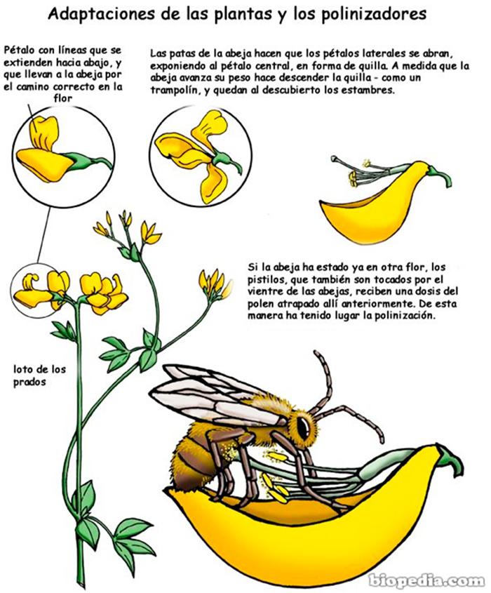 polinizar-y-abeja