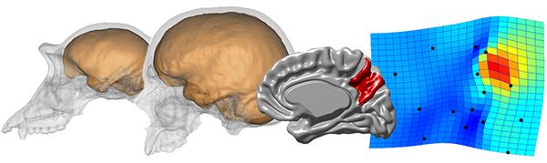 Una diferencia sustancial en la forma del cerebro entre chimpancés y humanos es el tamaño del precúneo, más grande en nuestra especie (en rojo).