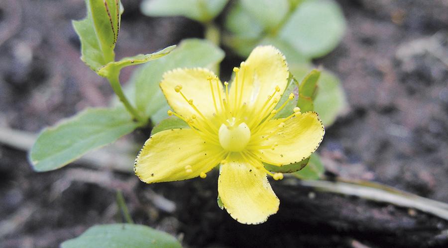 Fig-1 Hypericum peplidifolium; lo colectamos en Uganda.