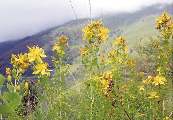 Fig-3 Hypericum perforatum, Pirineos.