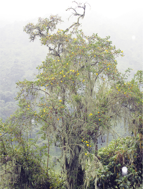 Fig-2- Hypericum revolutum, Uganda.
