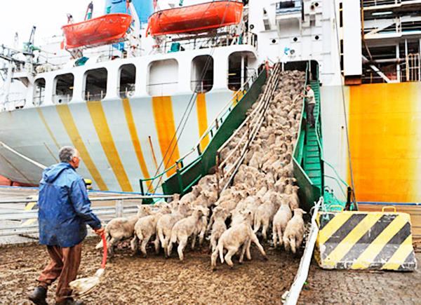 barco-ganadero3