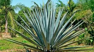 Foto portada: Variedad azul del agave tequilana.
