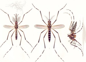 Mosquitos del género Aedes. Foto: Wikipedia
