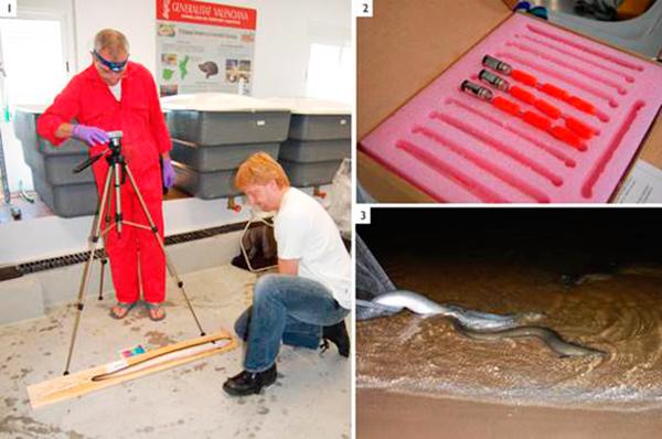 1) Los doctores Julian Metcalfe (UK) y Kim Aarestrup (Dinamarca), miembros del equipod e investigadores, marcan las anguilas con transmisores en la Albufera de Valencia . 2) Uno de los modelos de transmisor que han utilizados para la investigación. 3) Suelta de ejemplares en el mar Mediterráneo. (Javier Lobón-Cerviá)