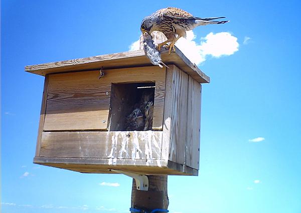 Un cernícalo vulgar trae un roedor a sus pollos, en una caja nido instalada para el control biológico del topillo. (Foto: GREFA)